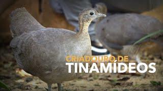 Criadouro reproduz espécies ameaçadas de Extinção!!! | TINAMÍDEOS | Criadouro de Aves