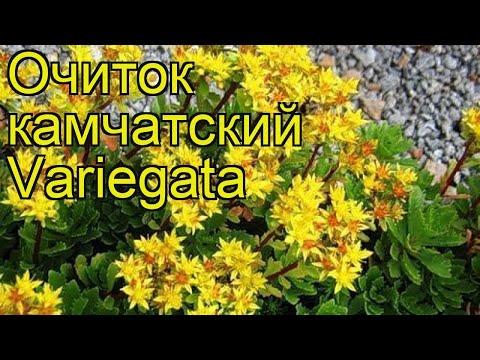 Очиток камчатский Вариегата. Краткий обзор, описание характеристик sedum kamtschaticum Variegata