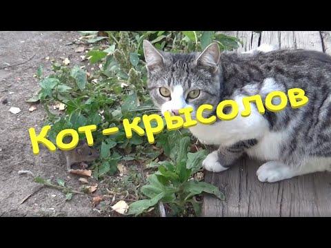 Вопрос: Коты, живущие в деревне, живут дольше городских Почему?