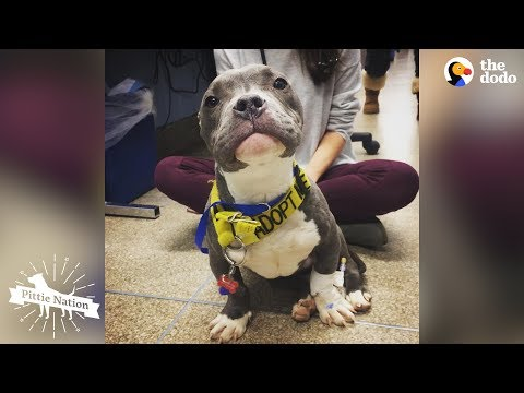 Pittie Puppy Found Tied To Pole LOVES His New Life | The Dodo Pittie Nation