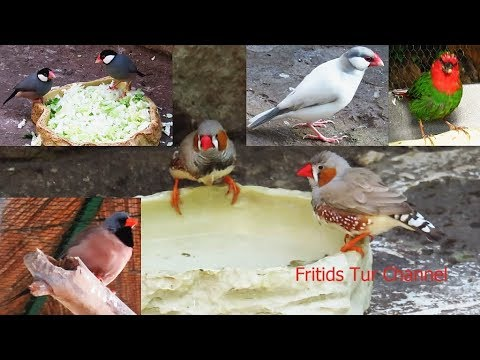 Amadina - Best of Finches Birds