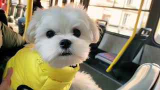 Taking a Maltese puppy for a small hike  Cute happy five months old dog