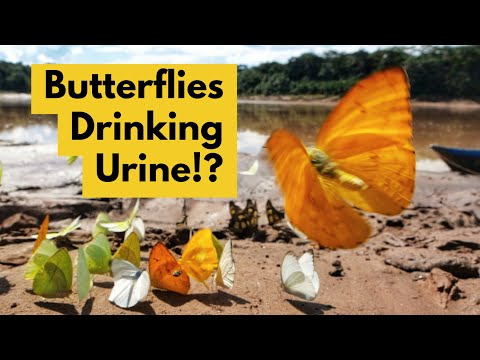 Incredible Footage Shows Butterflies Drinking Turtle Tears And Human Urine to Survive
