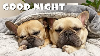 What Do My Dogs Do Every Night? | My French Bulldog's Night Routine