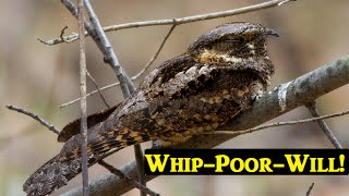 Baixar Whip-poor-will song