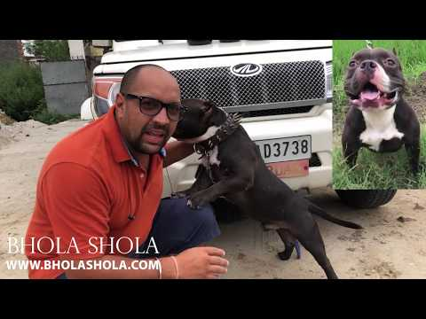 How To Build Muscle On A American Bully/Pitbull Dogs And Puppies