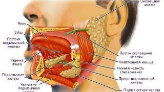 скелетные мышцы языка, функции языка, зубы и  слюнные железы