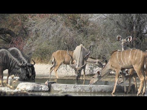Bowhunting Africa - Botswana 2018 - Bokamoso Safari - Impala & Warthog - Day 1
