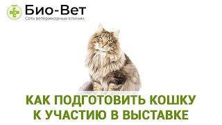 Как подготовить кошку к участию в выставке