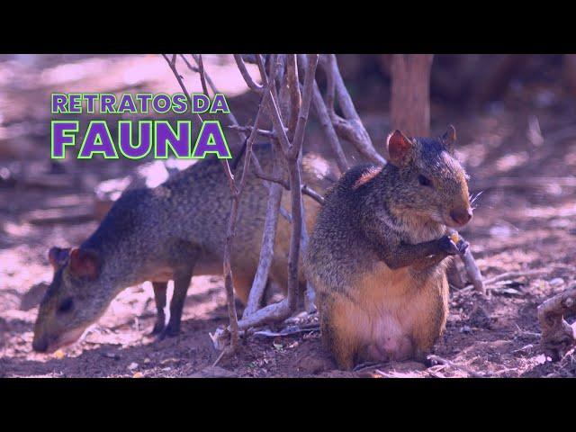 RETRATOS DA FAUNA #09 - COTIA