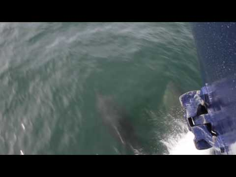 Dolphins May 26 2016 St Kilda Cruise