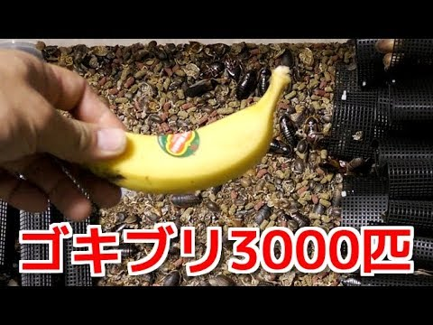 ゴキブリ3000匹のケージにバナナ1本入れてみた結果