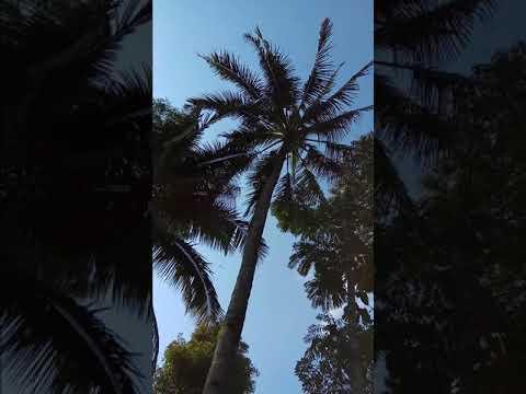 Bali Spice Islands, Coconut Sugar harvesting