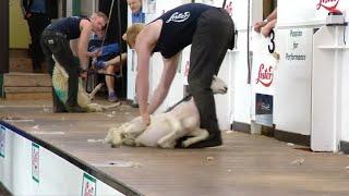 Cneifwyr v Bwyellwyr 2 | Shearers v Axemen 2