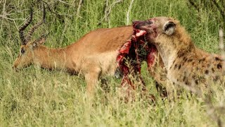 half-an-impala-tries-escaping-hyena