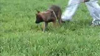 Puppy Training Tracking A Malinois Puppy With Maryland Dog Trainer Pat Nolan