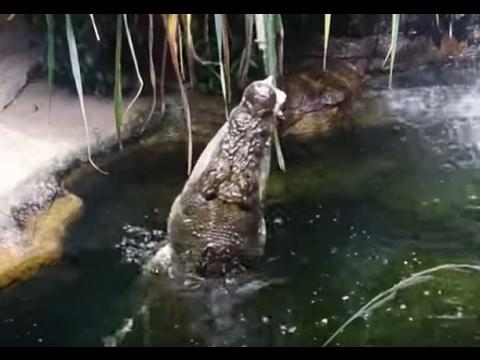 Crocodile feed at the Sydney Wildlife Zoo - Sydney, Australia