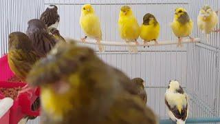 هذا ما يضيفه عماد العرفاوي في خلطة حبوب طيوره