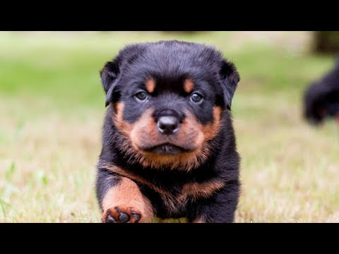8 Things You Should Know Before Owning a Rottweiler Puppies