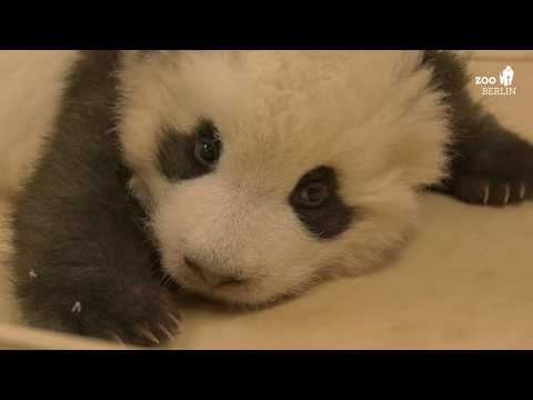 Panda mit Schluckauf im Zoo Berlin - Panda with hiccups at Berlin Zoo