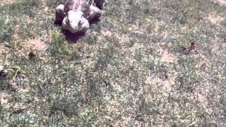 Calling My Pet Rock Iguana From over 100 ft Away!!! Trained Lizard
