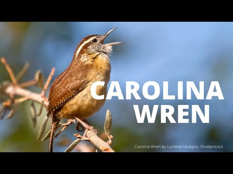Carolina Wren Song
