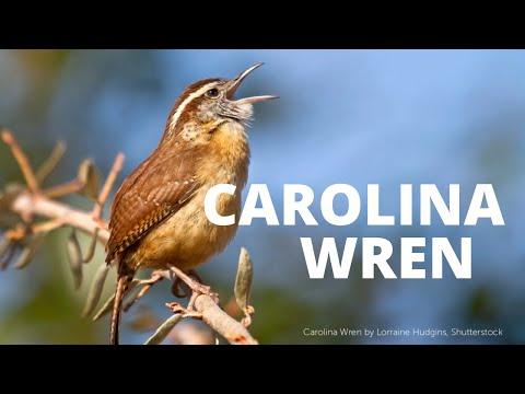 Carolina Wren Song