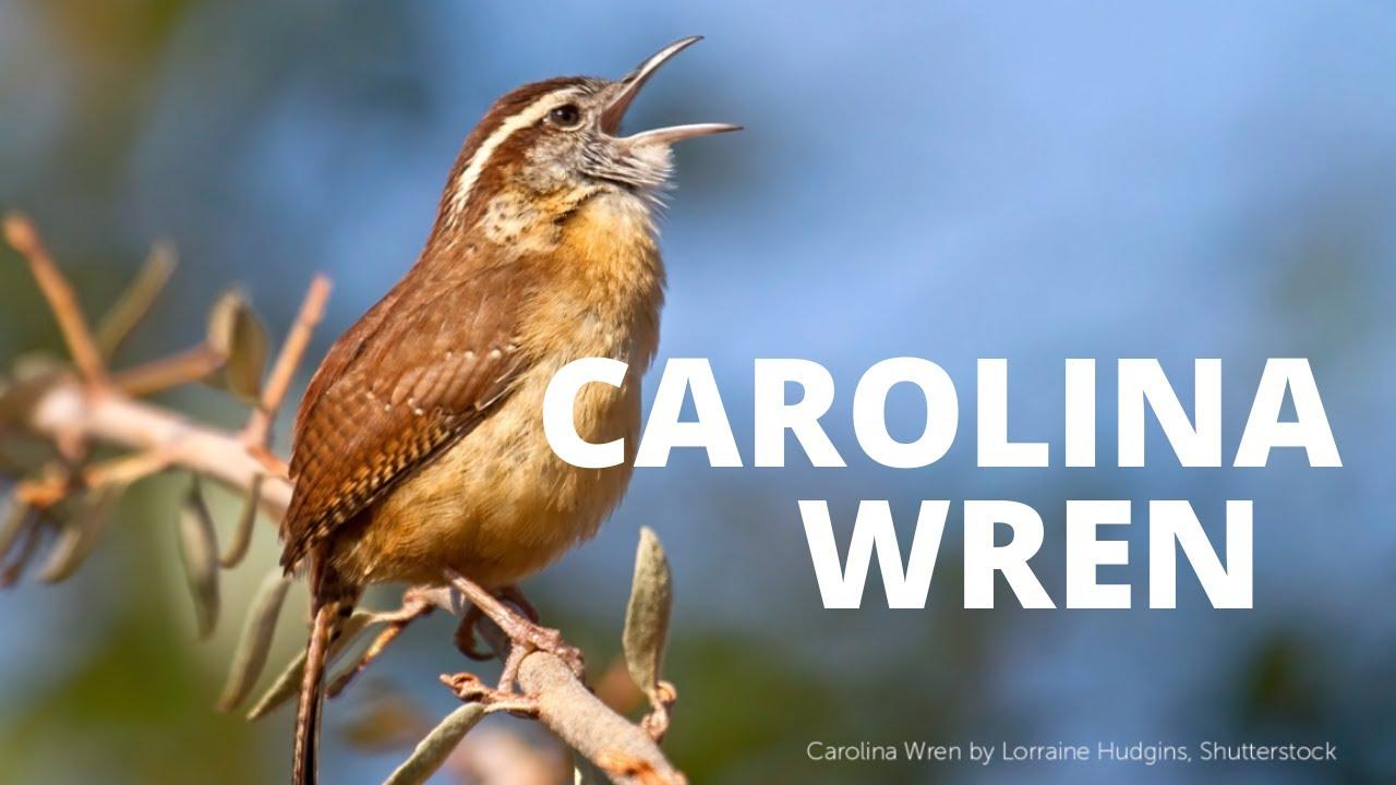 Carolina Wren Song Youtube