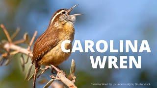 Download Lagu Carolina Wren Song mp3
