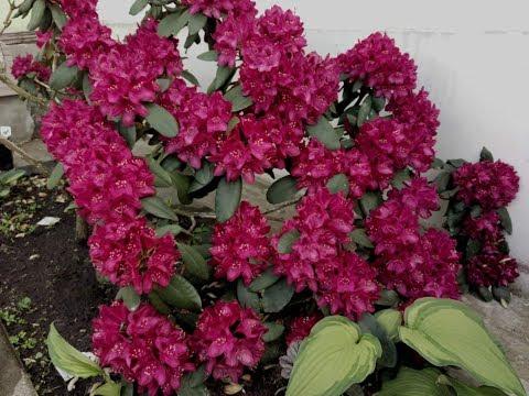 Самые лучшие цветущие кустарники. Красивые рододендроны и азалии