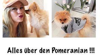 Alles über den Pomeranian/Zwergspitz
