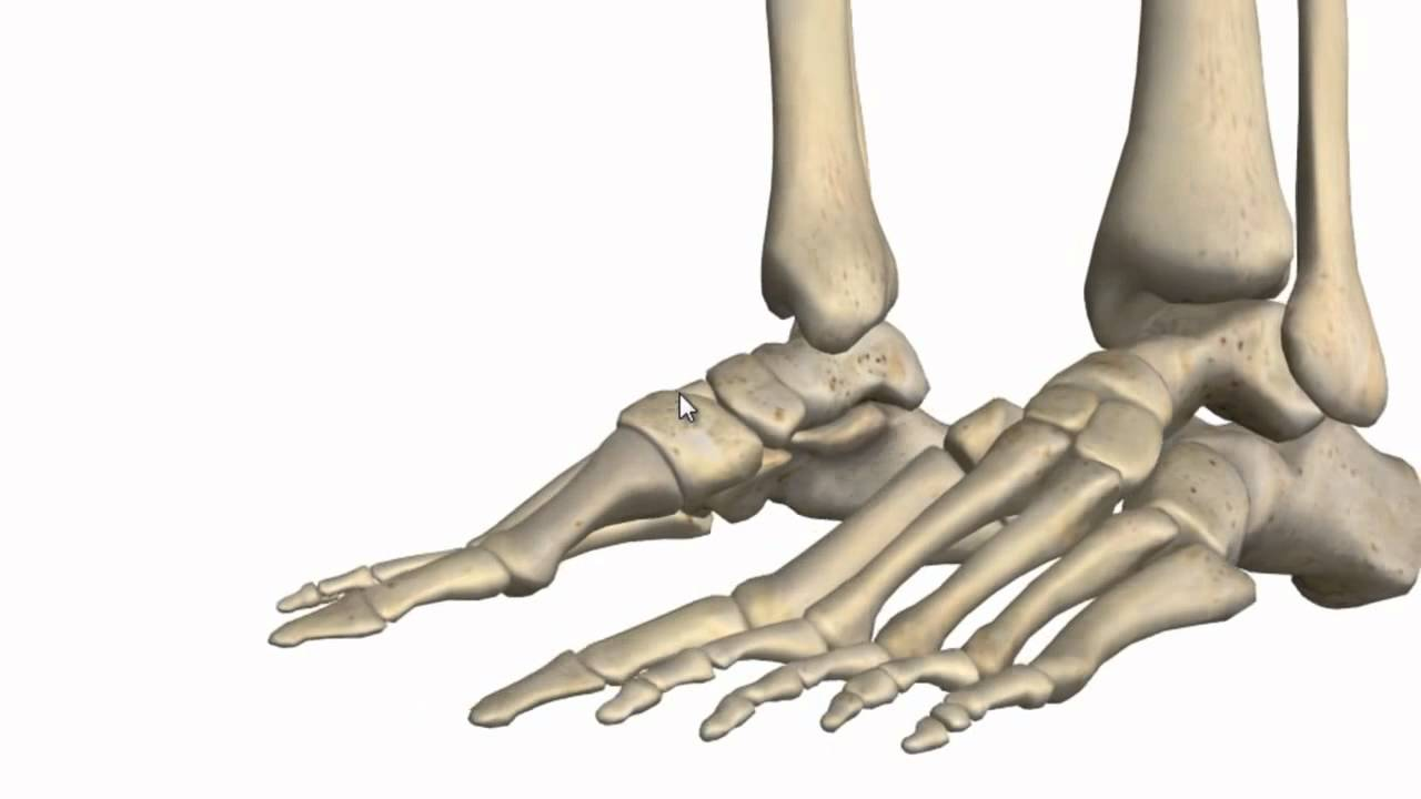 Ankle Joint 3D Anatomy Tutorial - YouTube