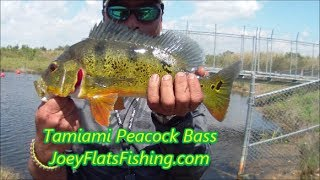 Butterfly Peacock Bass Fishing-Tamiami Trail JoeyFlatsFishing.com