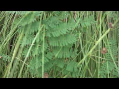 mimosa senstive plant