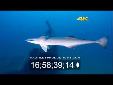 remora-4k-uhd-stock-footage-nautilus-productions