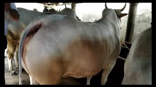 Beautiful White Cow  Paglahaat