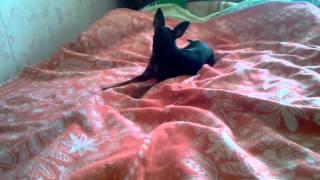 Цвергпинчер Либерти бегает за своим хвостом