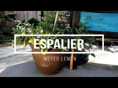 Meyer Lemon Espalier