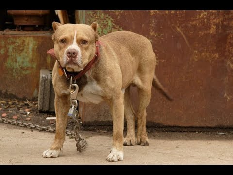 Pit Bull Attacks Spark Drive to Require Neutering DangerousDogs