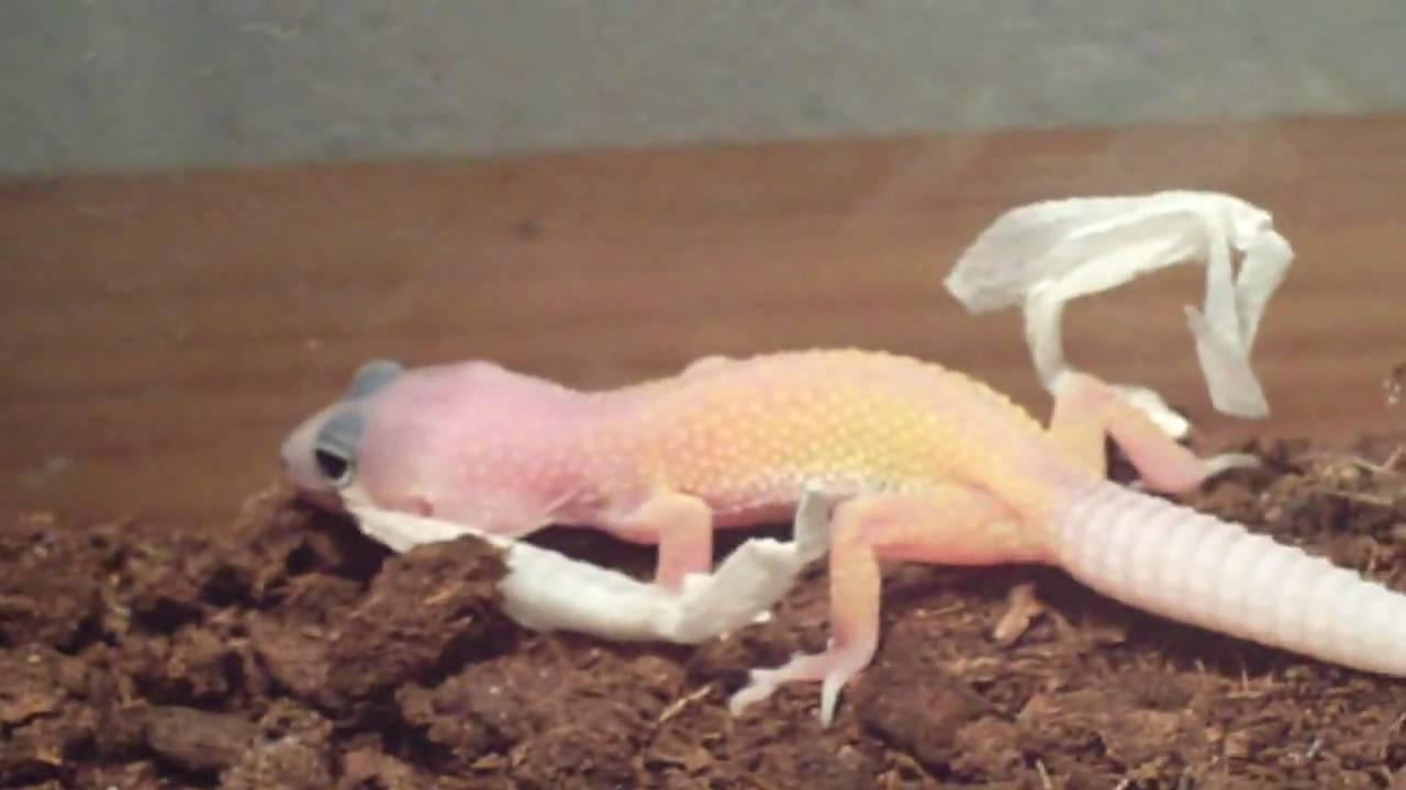 Baby Leopard Gecko Shedding Youtube
