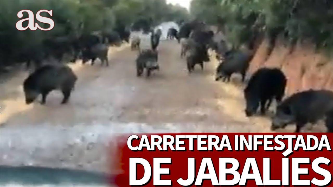 Escenas que sólo se ven en confinamiento: una carretera, invadida por animales | Diario AS
