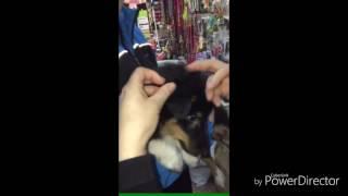 Как клеить уши колли или шелти