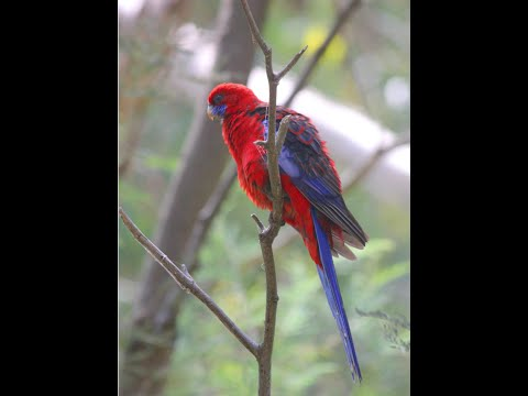 Crimson Rosella – Australian bird