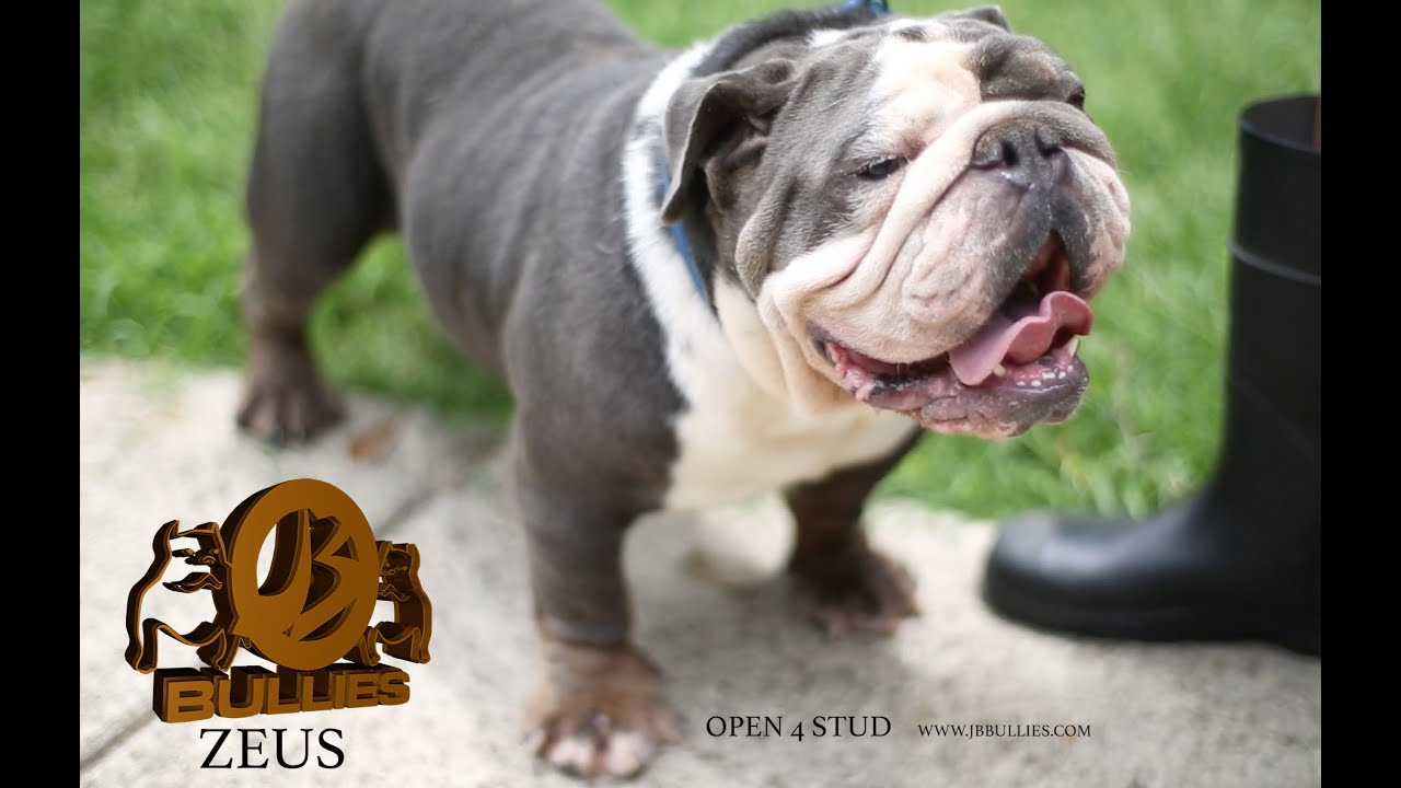 zeus blue tri english bulldog open 4 stud 1500