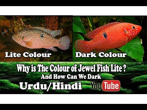 Why is The Colour of Jewel Fish Lite ? And How Can We Dark !!! Urdu/Hindi