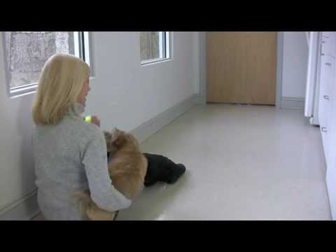 Norfolk Terrier Puppy Makes Funny Noises Playing Fetch