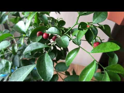 Мурайя, сбор урожая, посадка семечек, мурайя из ягод.