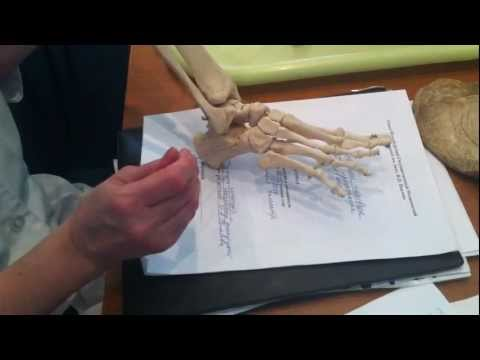 Кости голени