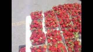 Strawberry fields!Picking strawberries big time!!