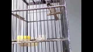 Suara Burung Gereja Tarung untuk master